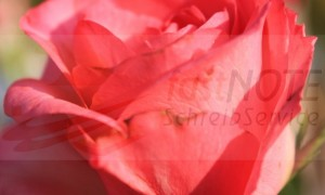 Duftende Rosen in Chiang Mai
